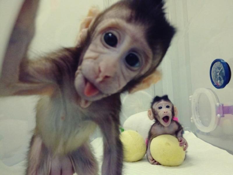 AN macacos clonados 00