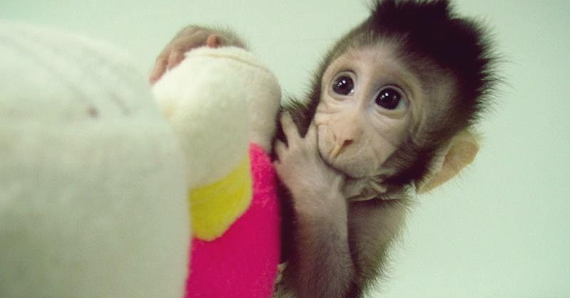 AN macacos clonados 01