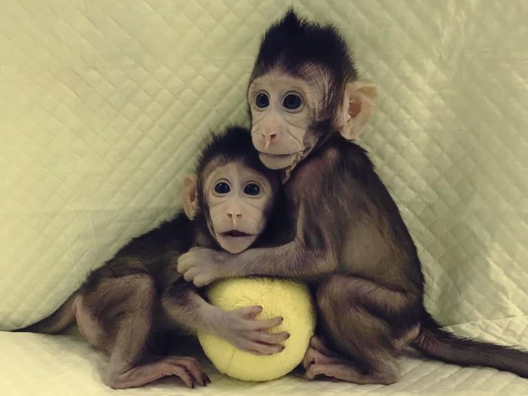 AN macacos clonados 02