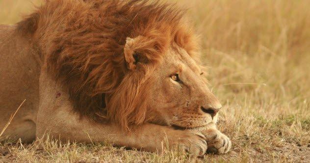animais-leões