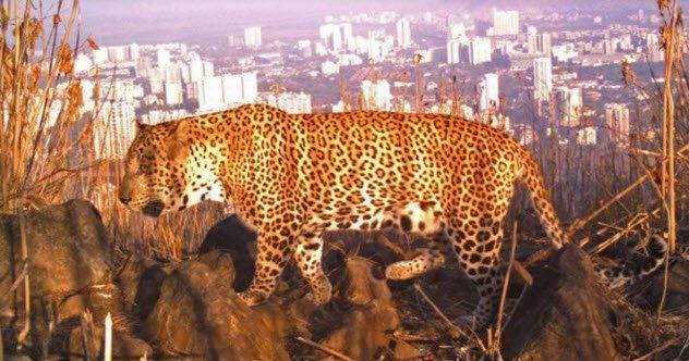 animais-leopardos