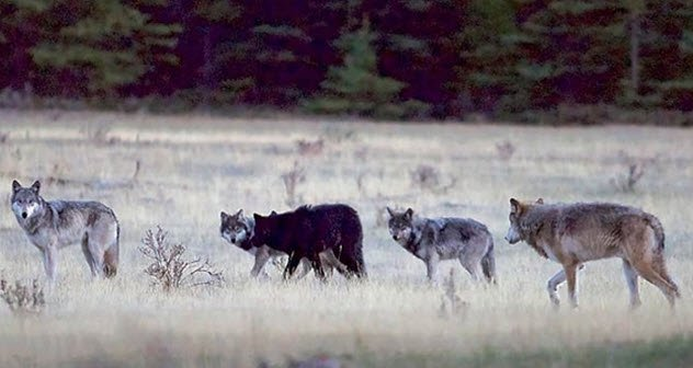 animais-lobo