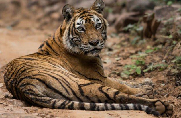 animais-tigre