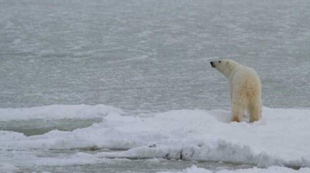 animais-urso polar