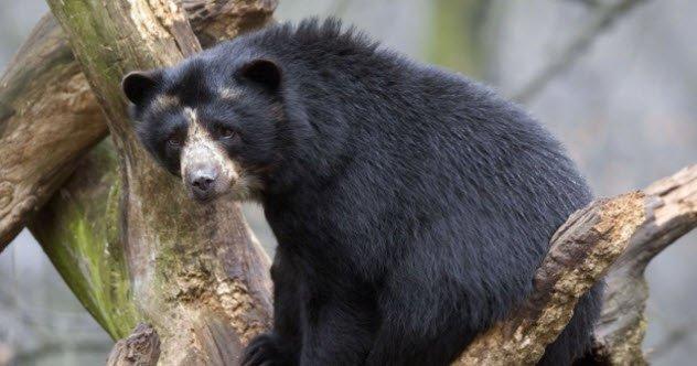 animais-ursos pardo