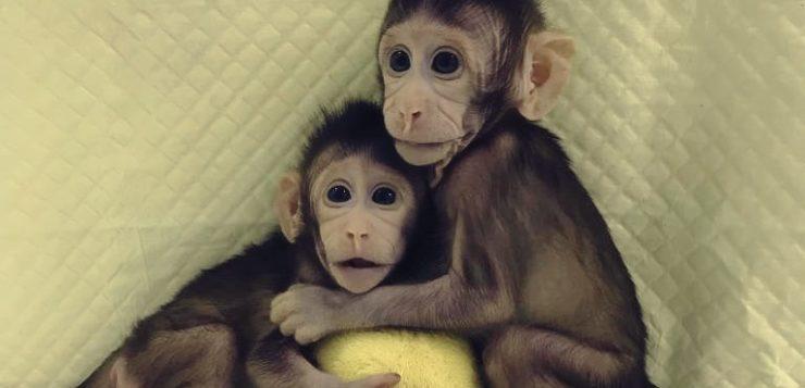 macacos clonagem