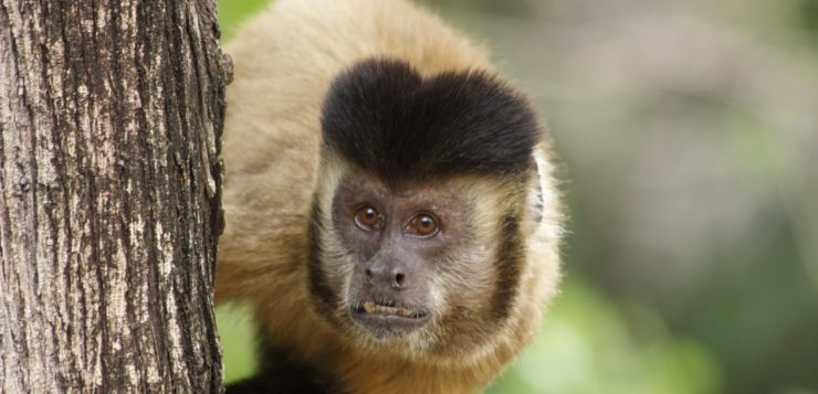 macacos macaco prego febre amarela