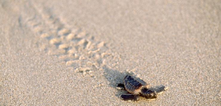 tartaruga marinha bebe