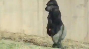AN gorila anda como humano