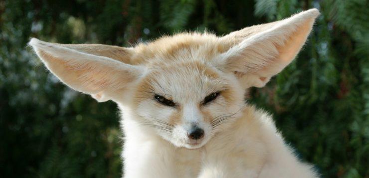 raposa do deserto