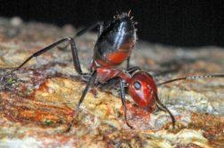 (Uma formiga da casta das operárias menores da nova espécie Colobopsis explodens em posição defensiva; quando ameaçada, ela explode, lançando sobre o inimigo um líquido tóxico e pegajoso que fica armazenado em suas glândulas. Foto: Alexey Kopchinskiy)