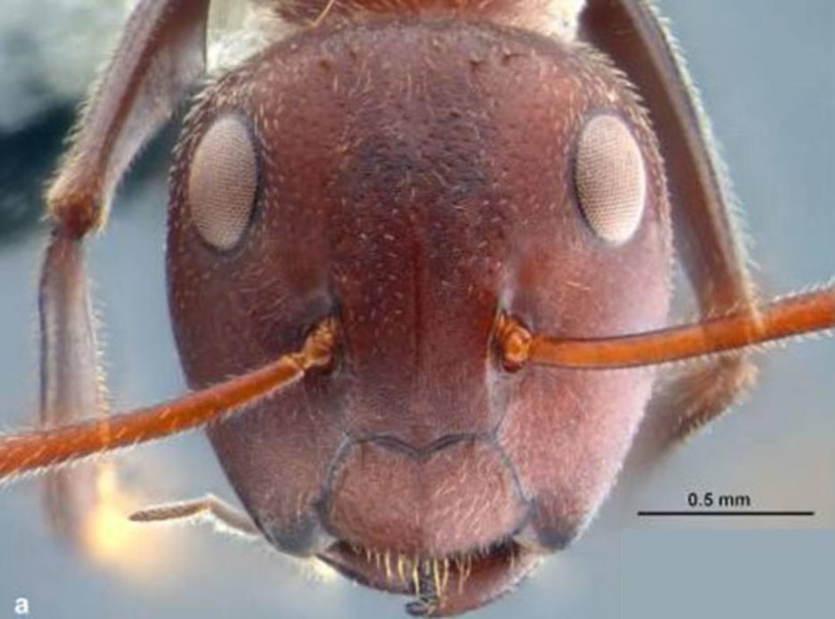 """(Um close da cabeça de uma formiga Colobopsis explodens, da casta das trabalhadoras menores, que são capazes de """"explodir"""", lançando um líquido tóxico e pegajoso nos inimigos que tentam invadir o formigueiro. Foto: Alice Laciny)"""