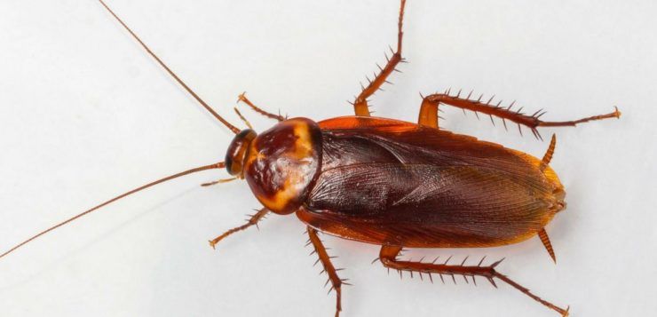 Pesquisa diz que inseticidas estão criando 'superbaratas invencíveis'