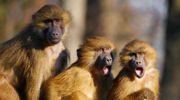 babuínos