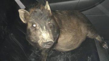 AN porco