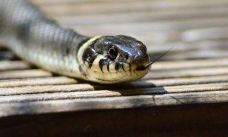 AN cobra