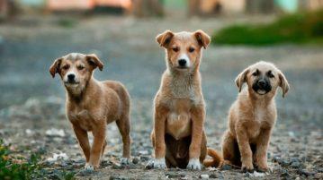 animais de estimação-capa