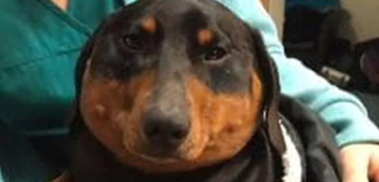 cachorro-inchado capa