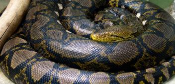 Mulher é engolida por cobra píton de 7 metros na Indonésia