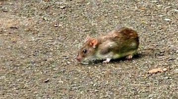 ratos-capa