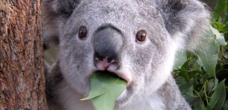 Um a menos: o coala está declarado funcionalmente extinto