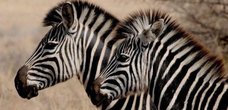zebras-capa