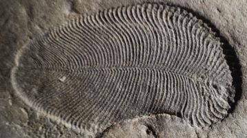 dickinsonia animal mais antigo do mundo