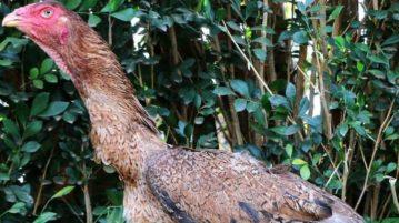 AN galinha 1 metro fb