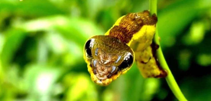 lagarta-capa
