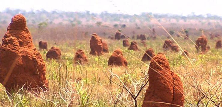 Colônia de cupins no Brasil ocupa área do tamanho da Grã-Bretanha