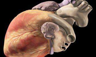 tecido cardíaco-capa