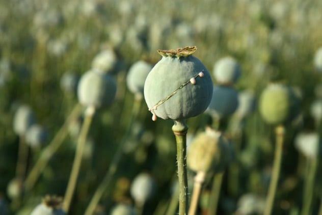 drogas-plantas 4