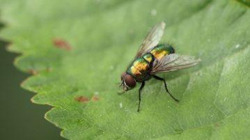 moscas-varejeiras-capa
