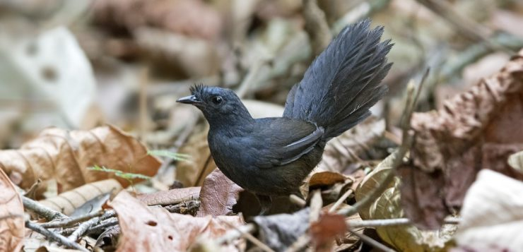 pássaro mais raro do mundo brasil