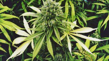 AN cannabis