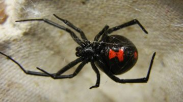 aranha viúva-negra