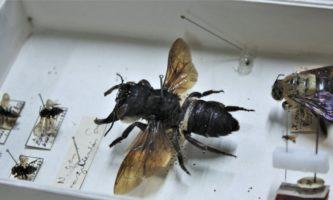 maior abelha do mundo
