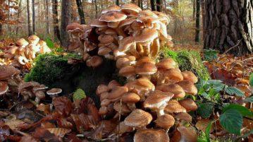 maior ser vivo fungo