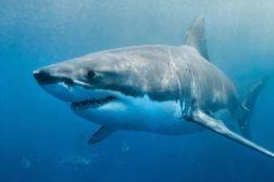 tubarões brancos cura para o câncer