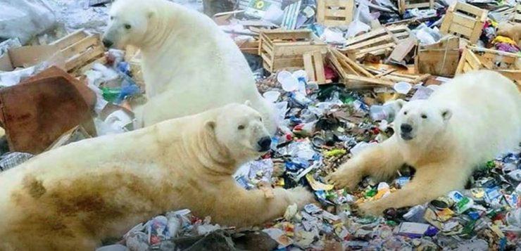 ursos polares rússia