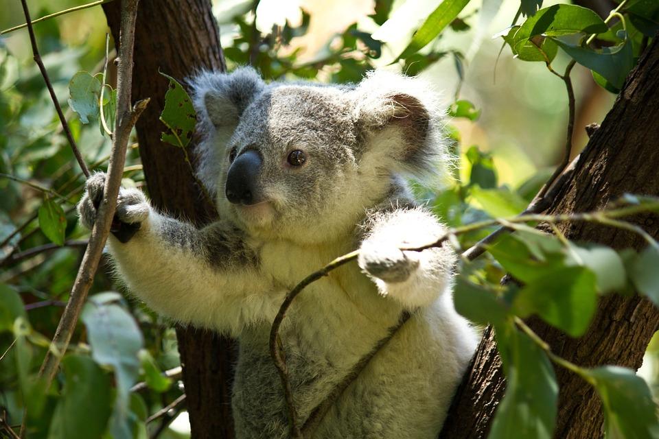 coala1