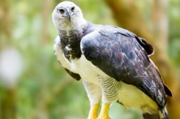 harpia aves de rapina
