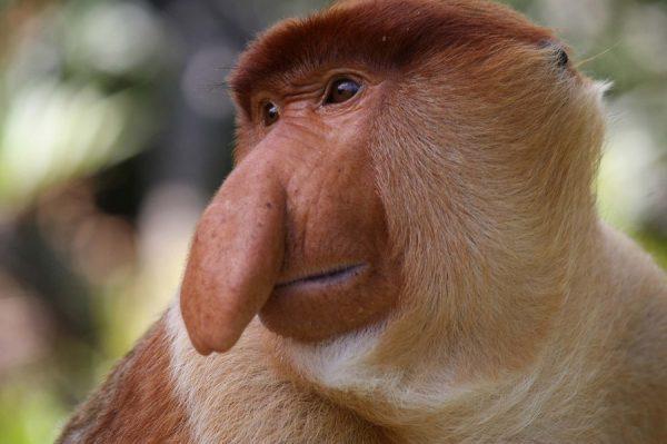 macaco narigudo criptozoologia