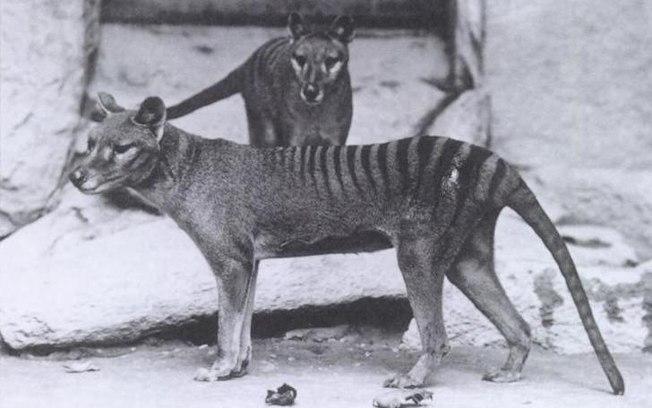 tigre da tasmania criptozoologia