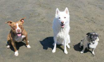 evolução dos cães