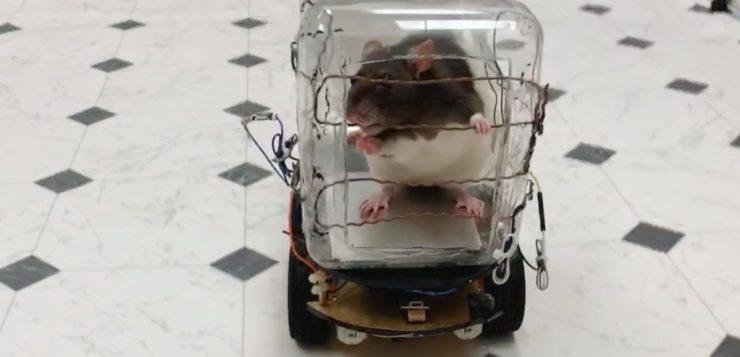 ratos dirigindo