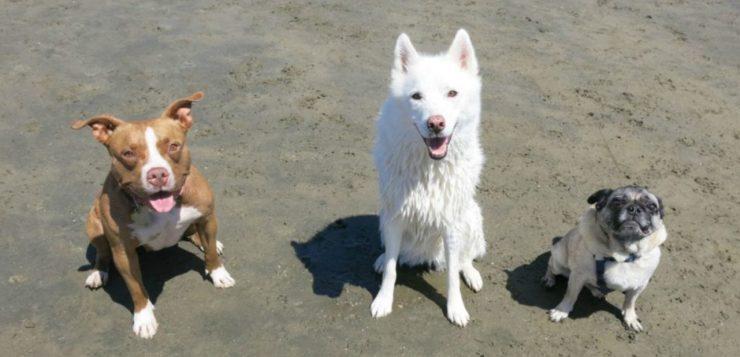 Cães podem ter sido domesticados por acidente, diz estudo