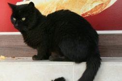 gato preto curas coronavirus