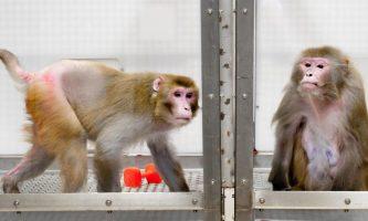 macaco coronavírus