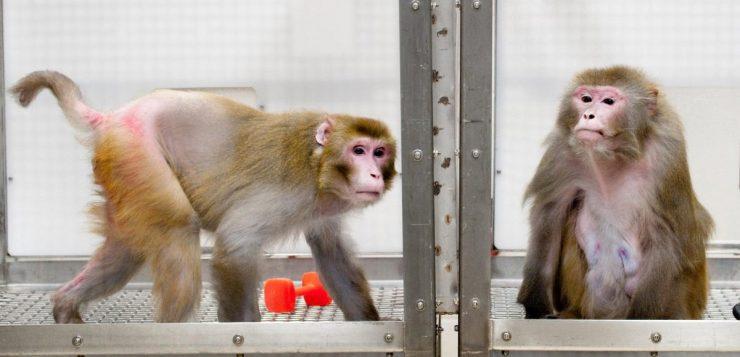 Coronavírus: macacos roubam sangue infectado de laboratório na Índia